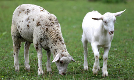 Can Sheep and Goats Live Together?