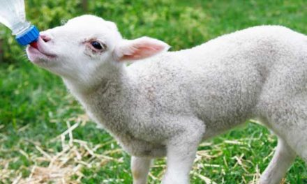 When to Stop Bottle Feeding Lambs