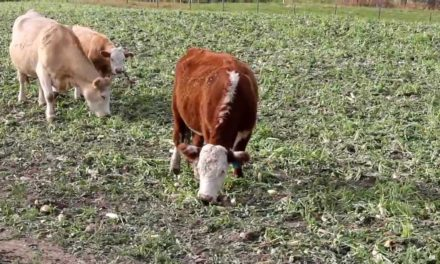 Can Cows Eat Radishes?