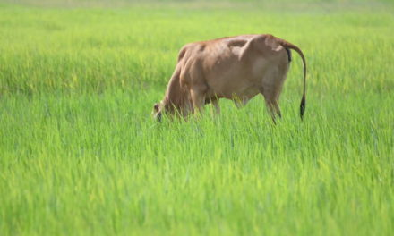 Can Cows Eat Rice?