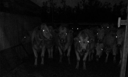 Can Cows See in The Dark?