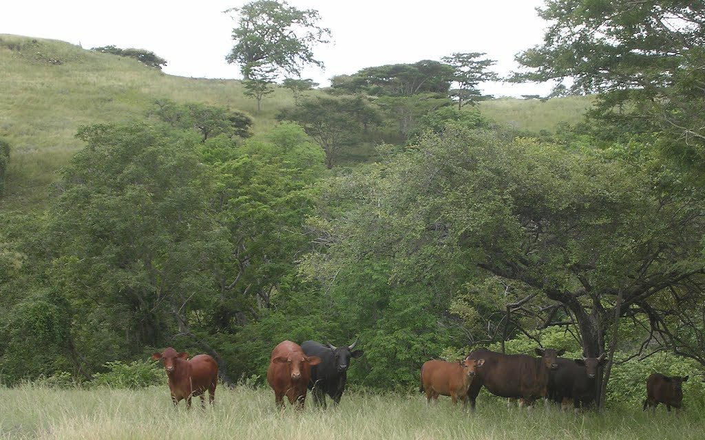 Can Cows Survive in the Wild?