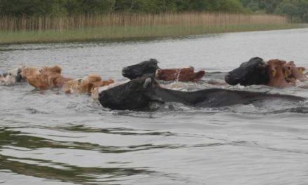 Can Cows Swim in Deep Water?