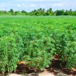 Cassava Farming (Planting, Growing & Harvesting)