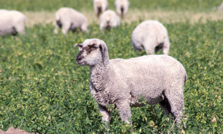 Can Sheep Eat Alfalfa?
