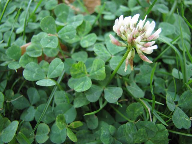 Can Sheep Eat Clover?