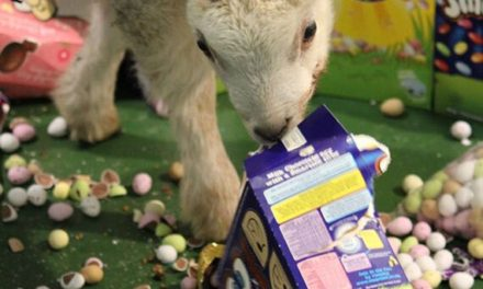 Can Sheep Eat Eggs?