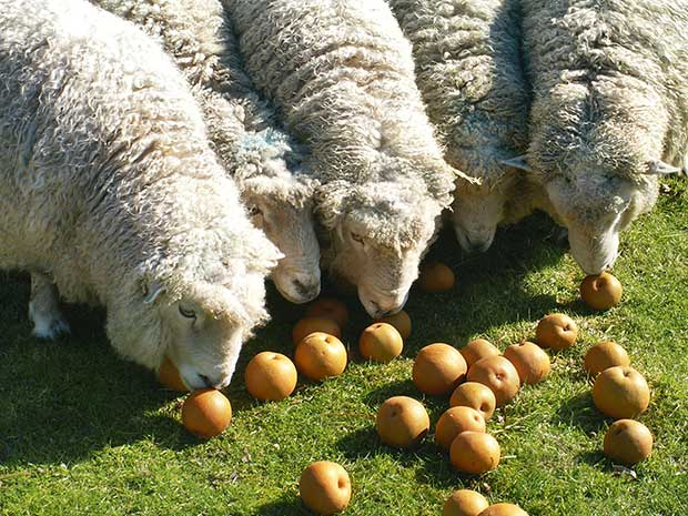 Can Sheep Eat Fruits?