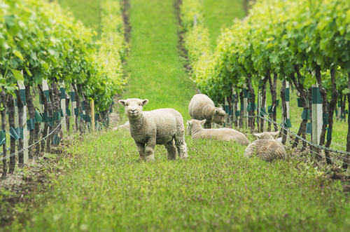 Can Sheep Eat Grapes?