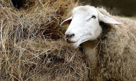Can Sheep Eat Hay?